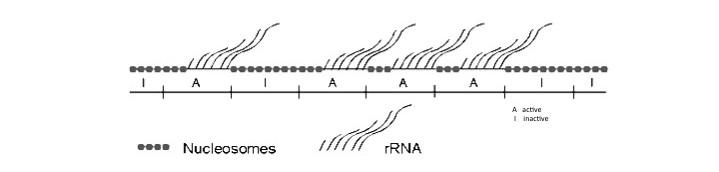 rDNA chromatin